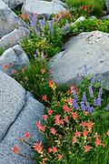 Paintbrush and Lupine among boulders, Mokelumne Wilderness, Eldorado National Forest, California