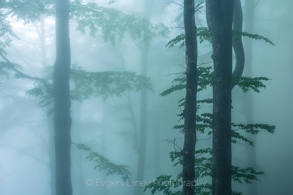 Misty beech forest in spring