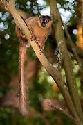 Collard brown lemur (Eulemur collaris) from Nahampoana Private Reserve, Madagascar