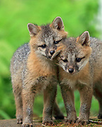 Gray Fox puppies in Habitat