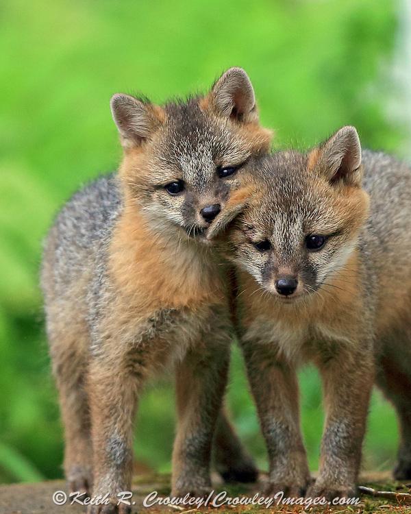 Gray Fox puppies in Habitat