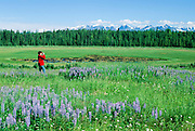 Alaska. Kenai Peninsula. A hiker makes her way through a field of wild flowers  Lupine (Lupinus nootkatensis). PLEASE CONTACT US FOR DIGITAL DOWNLOAD AND PRICING.