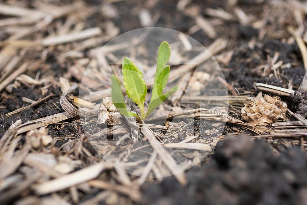 SCHWEIZ - GAMPELEN - Zuckerrüben-Jungpflanzen in der Fruchtfolge nach Körnermais. Der Mais wurde nach der Ernte im Vorjahr gemulcht und die Zuckerrüben wurden ohne Bodenbearbeitung gesät. Die 'Swiss No-Till' hat im Rahmen des Weltkongresses 8WCCA verschiedene Felder für die Präsentation angelegt. - 18. Mai 2021 © Raphael Hünerfauth - https://www.huenerfauth.ch