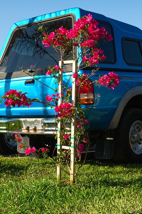USA, Vereinigte Staaten von Amerika, Florida, Rote rankende Blumen vor Auto  United States of America, red climbing flower and car at a parking lot