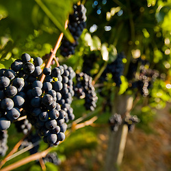 Marechal Foch grapes at the vineyard at Jewell Towne Vineyards in South Hampton, New Hampshire.