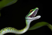 Black Skinned Parrot Snake, or Green Parrot Snake, Leptophis ahaetulla nigromarginatus, Iquitos, Peru, arboreal, day active, curled in defense pose, opens mouth wide when threatened, aggression, amazonian jungle. .South America....