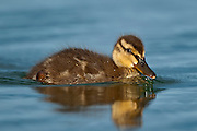 The Gadwall (Anas strepera) duck at Mývatn, Iceland