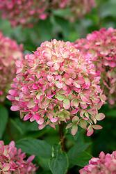 Hydrangea paniculata 'Little Lime' syn. 'Jane' - older flower colour