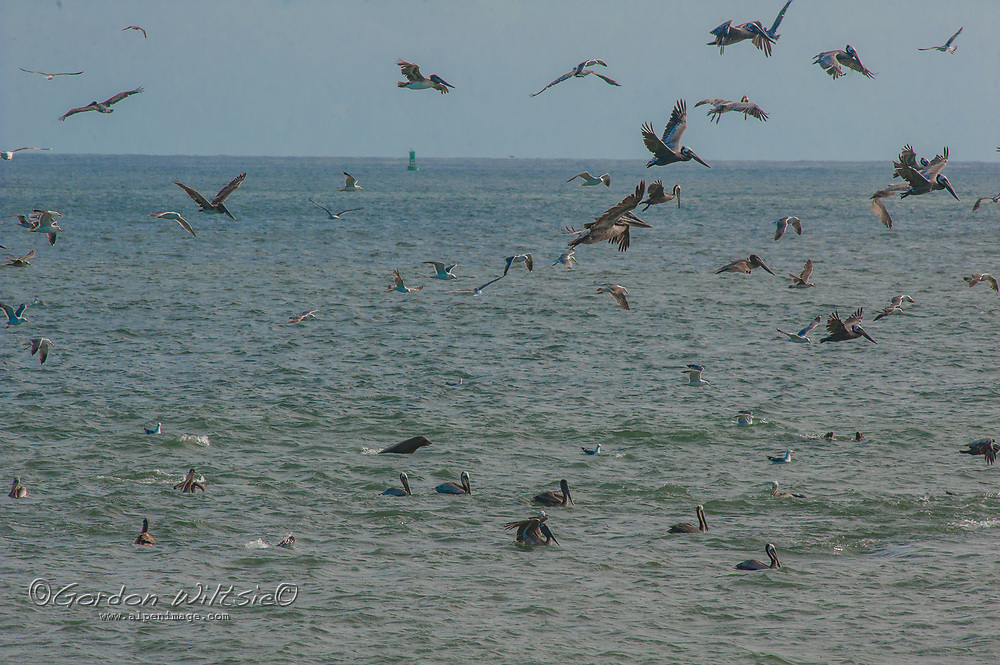 Pelicans and gulls flock over feeding sea lions (beneath the splashes) near Half Moon Bay, California.