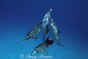 Atlantic spotted dolphins, Stenella frontalis, White Sand Ridge, Little Bahama Bank, Bahamas ( Western North Atlantic Ocean )