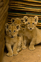 6 week old lion cubs in nursery at Lion Park, Johannesburg, South Africa
