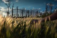 Woman runs her hand through tall grass at sunset.
