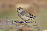 Blackcap - Sylvia atricapilla - female