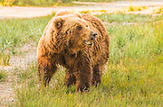 Large Grizzly Bear In Tall Grass in Lake Clark, National Park, Alaska