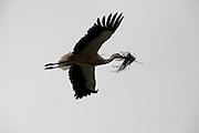 Stork flying back to nest with building material for nest, Avila, Spain.