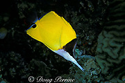 long-snouted coralfish or long-nosed or long-nose butterflyfish, Forcipiger flavissimus, Great Barrier Reef, Australia ( Western Pacific Ocean )
