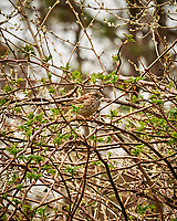 White-throated Sparrow. Image taken with a Nikon D3x camera and 70-200 mm f/2.8 lens.