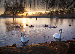 © Licensed to London News Pictures. 19/01/2016. London, UK. Swans are seen amongst the frozen waters of Heron Pond in Bushy Park. Overnight temperatures have dropped to as low as -4 centigrade. Photo credit: Peter Macdiarmid/LNP