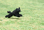 Playful Black Miniature Poodle running on the grass outside