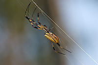 Unusually large golden silk spider in the Apalachicola National Forest.