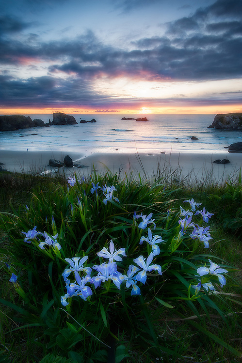 Bandon Beach, Oregon<br /> It has rained most of the day, a storm blowing in off the Pacific, cold enough to warrant layers.  As I navigate the bluff above the beach, just north of Coquille Point, I come upon a patch of fleur-de-lis, a more intense blue than the vault above and ocean below.  I hunch down, dialing in an aperture that will focus the near and the far.  We see through a lens, controlled by an iris, whether by eye or by camera.  When the light is low, as it had been all this day, muscles in the iris (curved blades in a lens) open the pupil, to take in more light, and see better.  And yet I feel like the darker everything is, the more narrow my vision, the more compact my universe. The darkness, rain and gloom had weighed on me all day, as it often does, spilling over into my thoughts and musings.  My eyes can't shed light on  melancholy.  The soul defies the body.  Remains of the weather move eastward above me.  The sun finds the gap below the trailing edge, and it fills with a flood of light.  I squint against the sudden brightness, pupils retreating as horizons dilate.  Perhaps the iris had a plan.