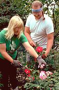 Gardeners age 39 cultivating prize winning roses.  Edina  Minnesota USA