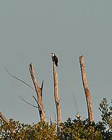 Osprey (Pandion haliaetus). Fort De Soto County Park. St. Petersburg, Florida. Image taken with a Nikon D3s camera and 500 mm f/4 VR lens.