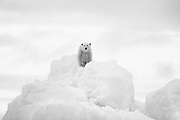 A black and white of a polar bear on the top of an iceberg on the east coast of Greenland,Scoresby Sound, East Greenland