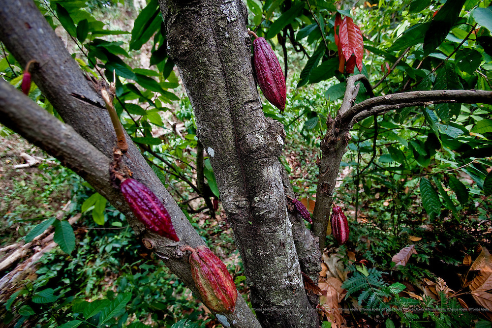 Saving Mexican criollo cocoa (Royal Cocoa of Soconusco).<br /> <br /> There are three main varieties of Theobroma cacao: criollo, forastero and trinitario. Of all of these, criollo is the most difficult to grow; it is extremely fussy, produces fewer pods containing fewer beans and is more susceptible to diseases and pests. Nonetheless, it is considered to be the best quality for its fine taste and flavour, it is also scarce; only 5% of world cocoa production is made up of this variety.