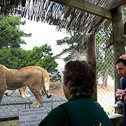 A lioness waits for feeding time at Orana Wildlife Park, Christchurch. Set on 80 hectares, Orana Wildlife Park is New Zealand's only open range zoo. .Over 400 animals from 70 different species are displayed. Mcleans Island Road, Christchurch, New Zealand. 9th June 2011. Photo Tim Clayton.