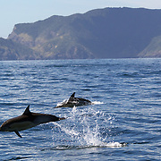 Common Dolphins in playful mood watched by Dolphin watch boats who follow the dolphins in the waters around  Paihia, while taking part in the swimming with dolphins experience run by Fullers Dolphin encounters from Paihia.<br /> The Bay of Islands is a stunning region consisting of 144 islands, abundant in natural wonder and marine life. With some of the warmest waters in New Zealand, the Bay of Islands is a natural wonderland where you can encounter bottlenose and common dolphins, whales, seals, penguins and a diverse range of birdlife.<br />  Paihia, Bay of Islands, North Island,  New Zealand, 15th November 2010. Photo Tim Clayton