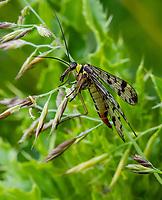 HALFWEG - Schorpioenvlieg. insecten op de golfbaan , Amsterdamse Golf Club. (AGC)  . Insecteninventarisatie  COPYRIGHT KOEN SUYK