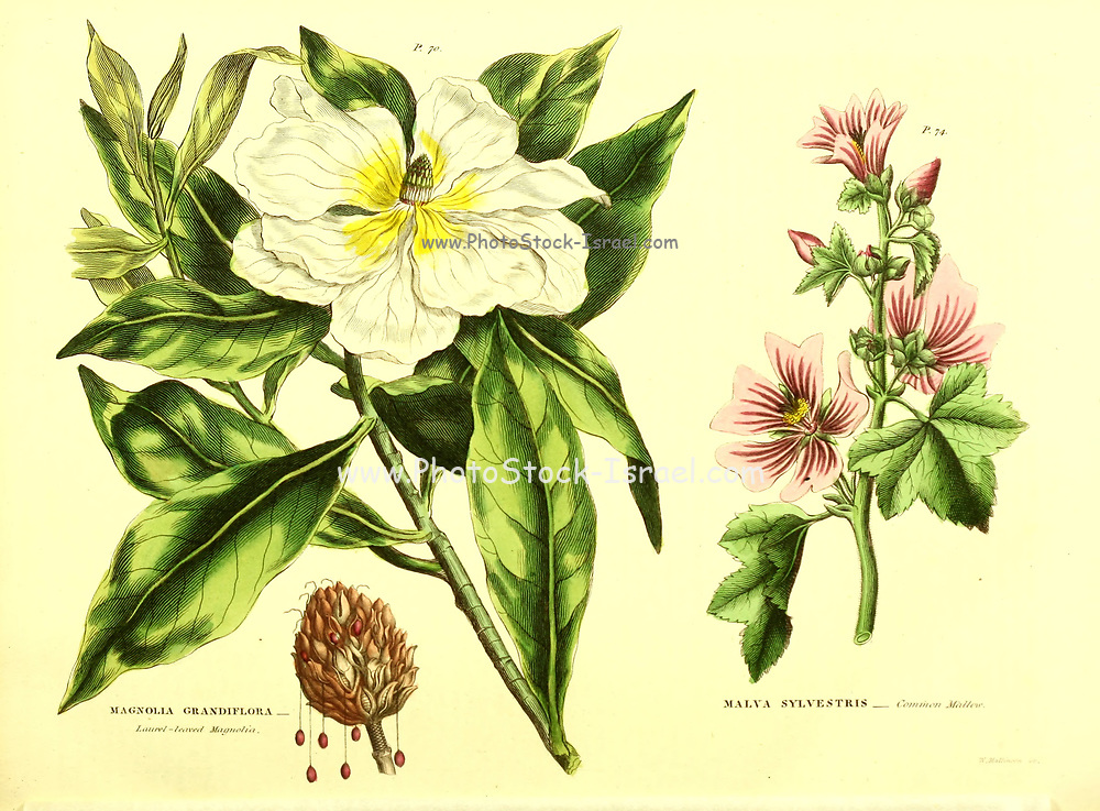 Magnolia Grandiflora [Laurel-leaved Magnolia], Malva sylvestris [Common Mallow] from Vol II of the book The universal herbal : or botanical, medical and agricultural dictionary : containing an account of all known plants in the world, arranged according to the Linnean system. Specifying the uses to which they are or may be applied By Thomas Green,  Published in 1816 by Nuttall, Fisher & Co. in Liverpool and Printed at the Caxton Press by H. Fisher