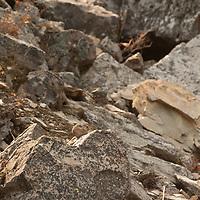 A pika sits atop a boulder in Banff National Park, Alberta, Canada.