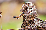 detail of a vine after winter pruning, in spring when temperatures rise, the sap seeps out from the pruning cuts. this is called that the vines cry Les Vignes Pleurent, a drip can be seen on the twig Grape variety Cabernet Sauvignon Domaine de Triennes Nans-les-Pins Var Cote d'Azur France