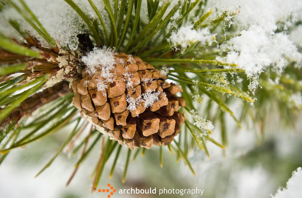 Pinecone covered in snow.