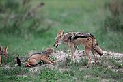 Black-backed Jackal, Canis mesomelas, parent and young, at Lebala Camp, Okavango