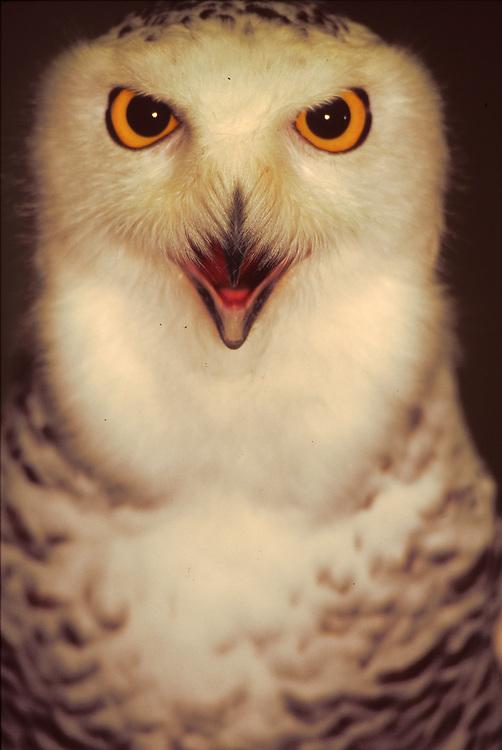 Alaska . Snowy Owl .