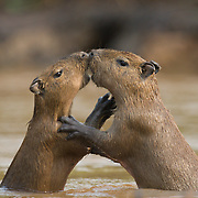 Capybara, young playing with each other in Cuiaba River, Pantanal, Brazil.