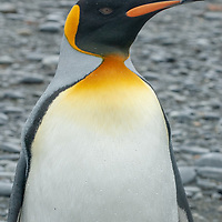 A King Penguin stands on a beach at St. Andrews Bay, South Georgia, Antarctica.
