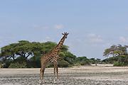 A lone  Masai giraffe (Giraffa camelopardalis tippelskirchii) stands in a sandy patch between green trees. Sinya Wildlife Management Area, Tanzania.