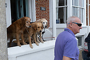 Attentive of their owner, Golden Retrievers balance on the wall of a seaside property on 14th August 2020, in Aldeburgh, Norfolk, England.
