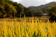 Rice field at the Gangwon-do province a few kilometers from the Demilitarised Zone (DMZ) which is deviding North and South Korea. / Goseong-Gun, South Korea, Republic of Korea, KOR, 08 October 2009.