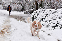 © Licensed to London News Pictures. 10/12/2017. London, UK. A woman walks her dog through the woods as snow falls in Northwood, north west London.  The weather forecast predicts an accumulation of three to four inches with snow continuing to fall well into the afternoon.  Photo credit: Stephen Chung/LNP