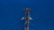 (Sphyrna zygaena) Smooth Hammerhead Shark