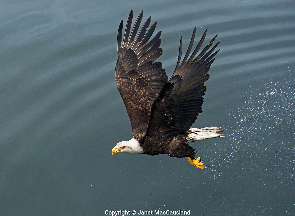 A Bald Eagle (Haliaeetus Leucocephalus) flies over the blue water with a small fish in its' talons. This image was captured in Ketchikan, Alaska, our first Alaskan stop off the Marine Highway.