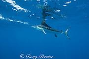 white marlin, Tetrapturus albidus, with reflection on surface, off Yucatan Peninsula, Mexico ( Caribbean Sea )