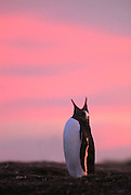 Gentoo penguin throws back its head and calls out with a pink sunset sky back ground