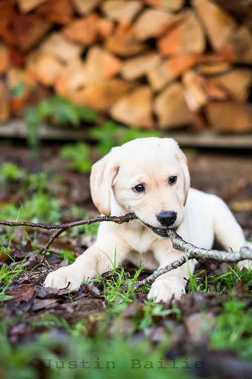 Yellow lab puppy in Manzanita, Oregon.