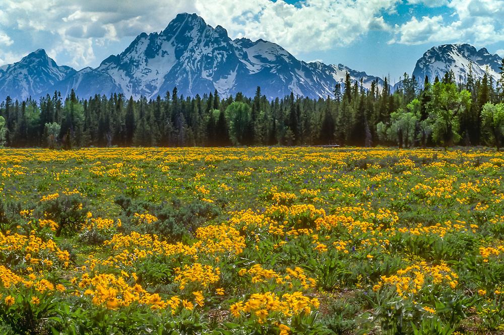 Mount Moran, balsamroot wildflowers, early summer, Grand Teton National Park, Wyoming, USA